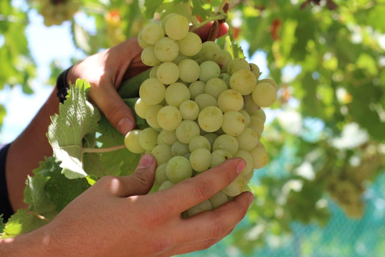 العنب الطائفي  2