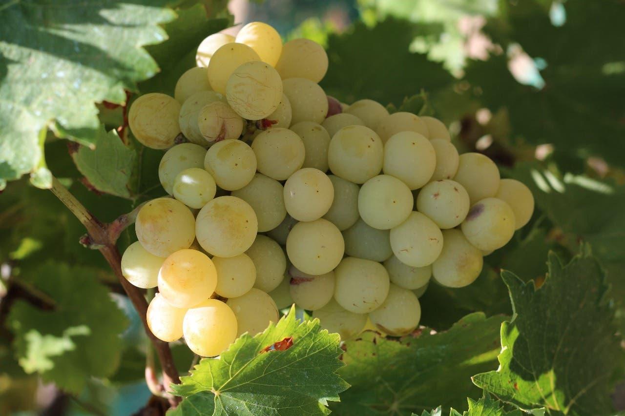 العنب الطائفي  ذو الجودة والمذاق الحلو