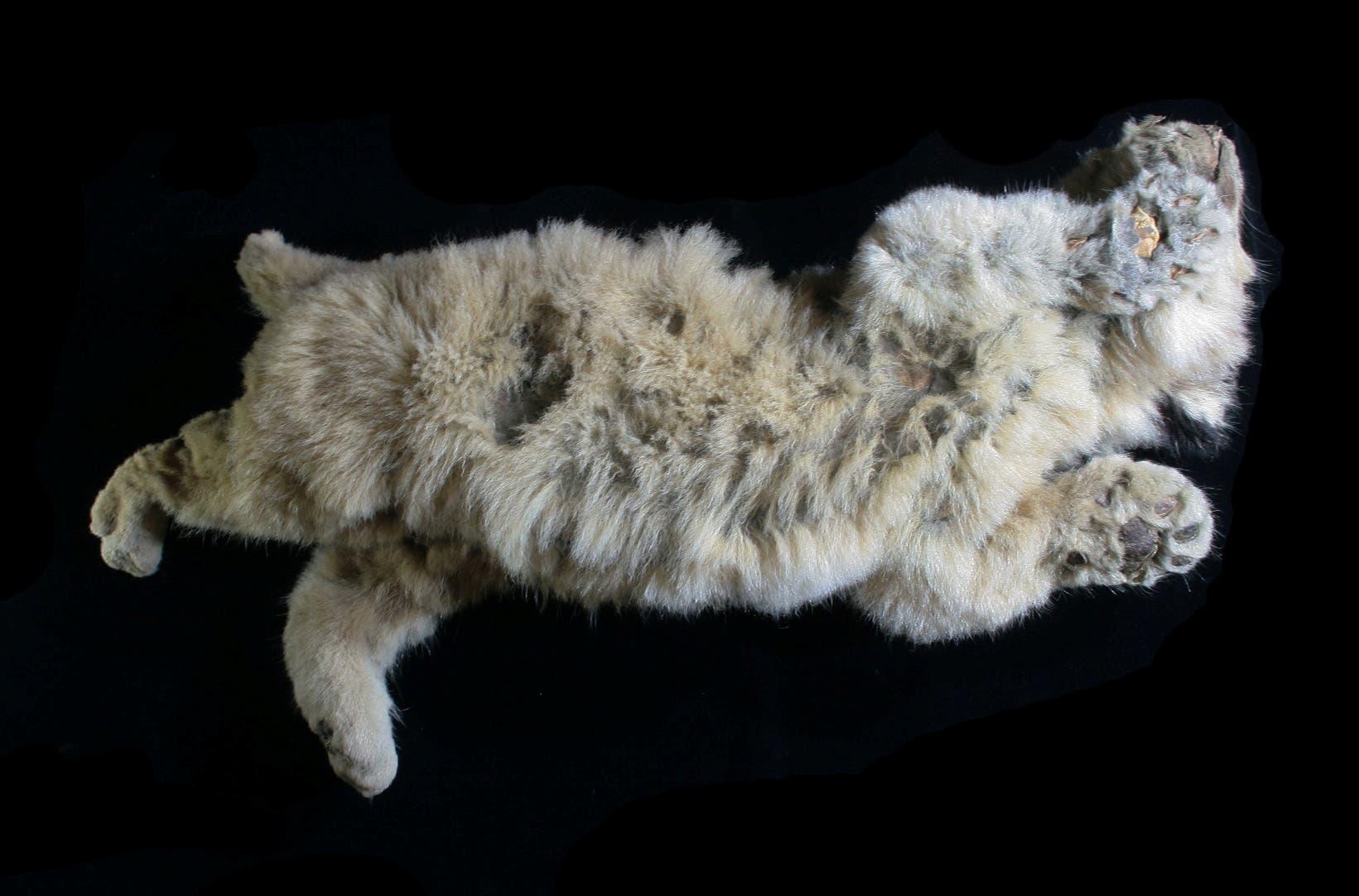 بوريس شبل أسد الكهوف الذي تم العثور عليه في سيبيريا في 2017