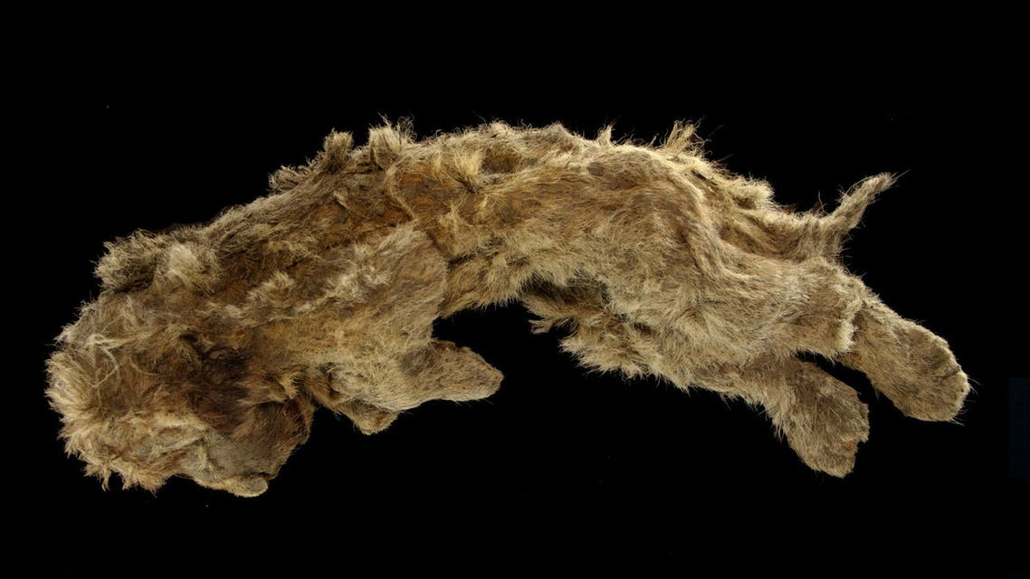 A cave lion cub named Sparta, which was found preserved in Siberia's permafrost, is seen in this undated photo taken in 2020, in Yakutsk, Russia. REUTERS/Valery Plotnikov NO RESALES. NO ARCHIVES