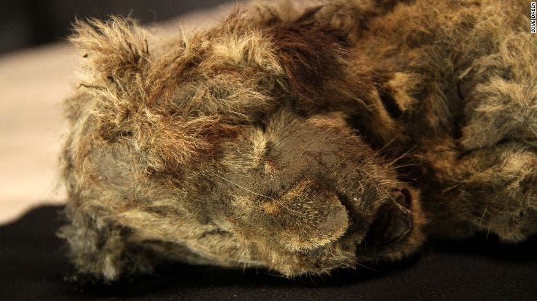 سبارتا شبل أسد الكهوف الذي تم العثور عليه في سيبيريا في 2018
