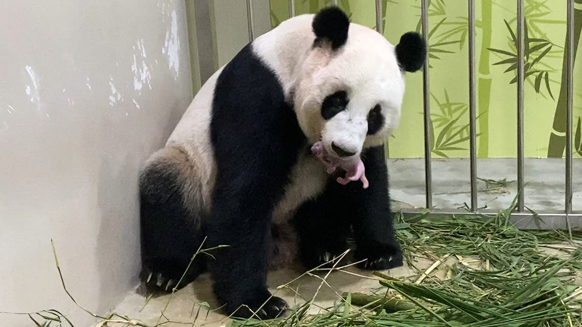 This handout photograph made available by Wildlife Reserves Singapore on August 15, 2021 shows female giant panda Jia Jia holding her first panda cub, born on August 14, 2021 at an off-exhibit at River Safari in Singapore. (File photo: AFP)