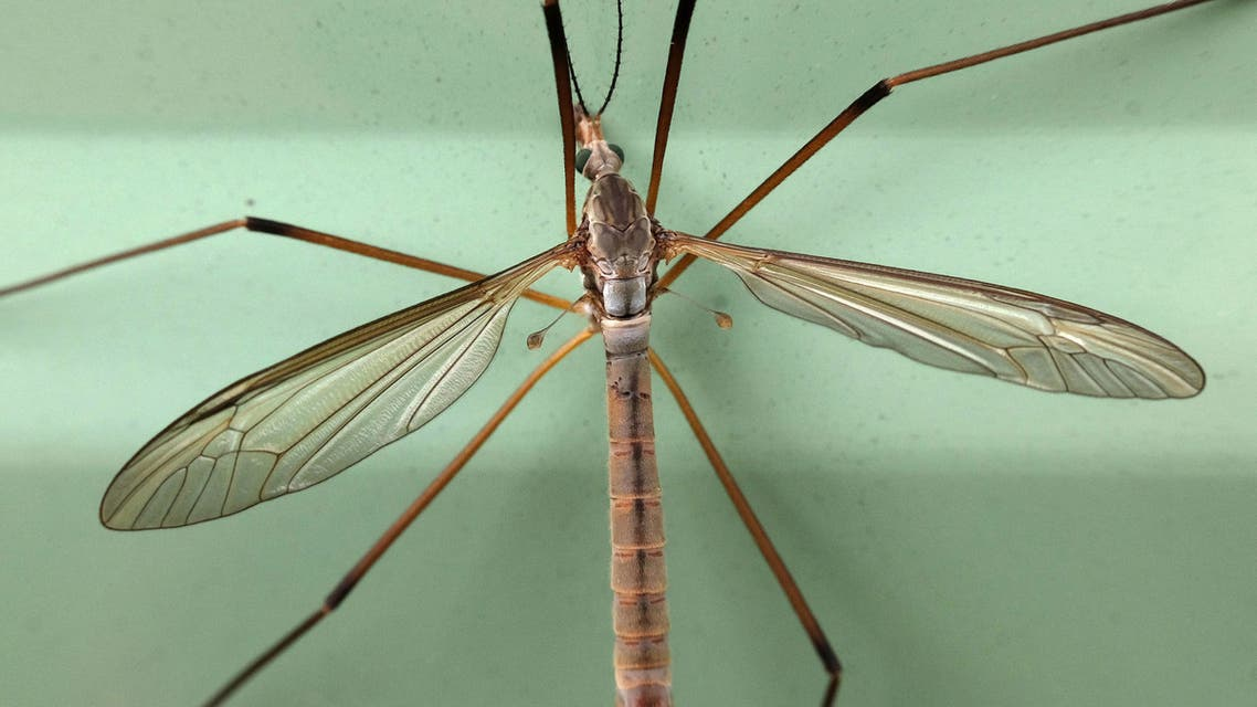 A Crane Fly known commonly as a Daddy Longlegs is seen on the side of a caravan in Wales, Britain September 10th, 2016. (Reuters)