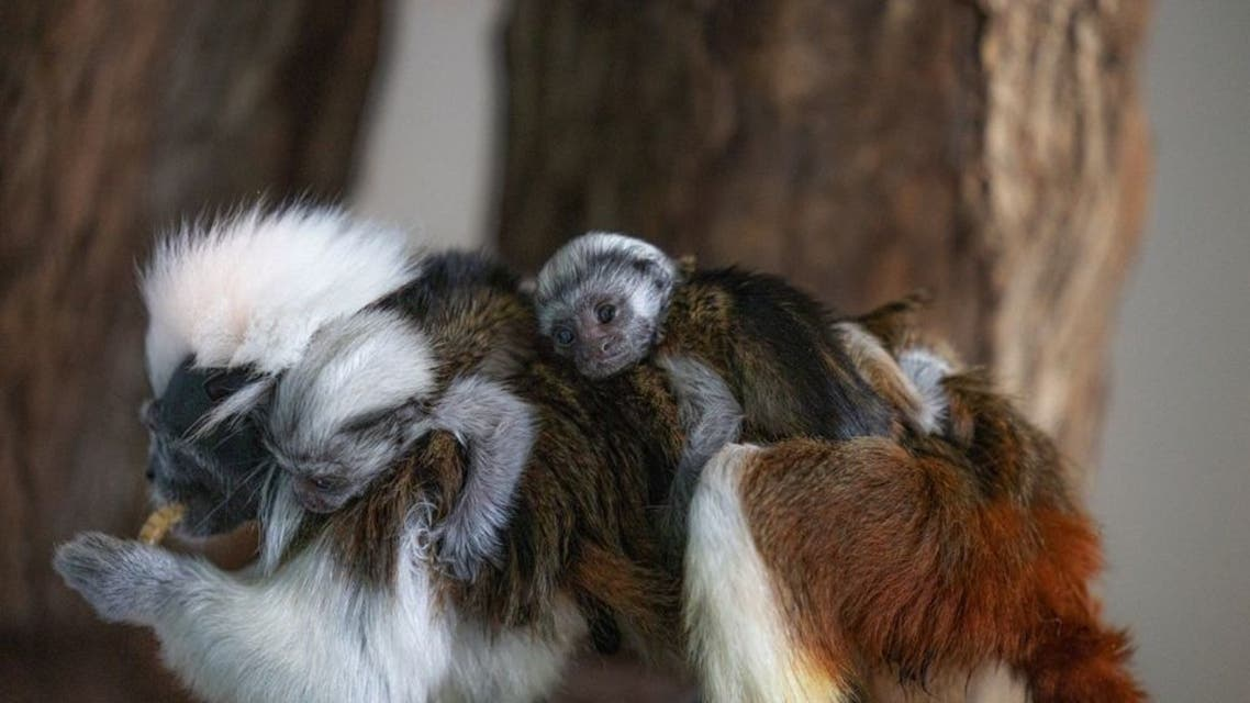 Dubai's only in-door rainforest is today celebrating the birth of its latest residents to join The Green Planet family: these adorable Cotton-top Tamarin twins. (Supplied: Green Planet)