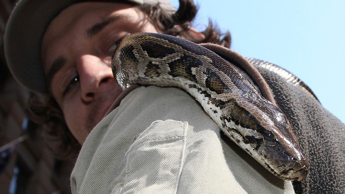 A Burmese python moves down his keeper's arm during an event marking the National Endangered Species Day in Sydney, Australia.  (File photo: AP)