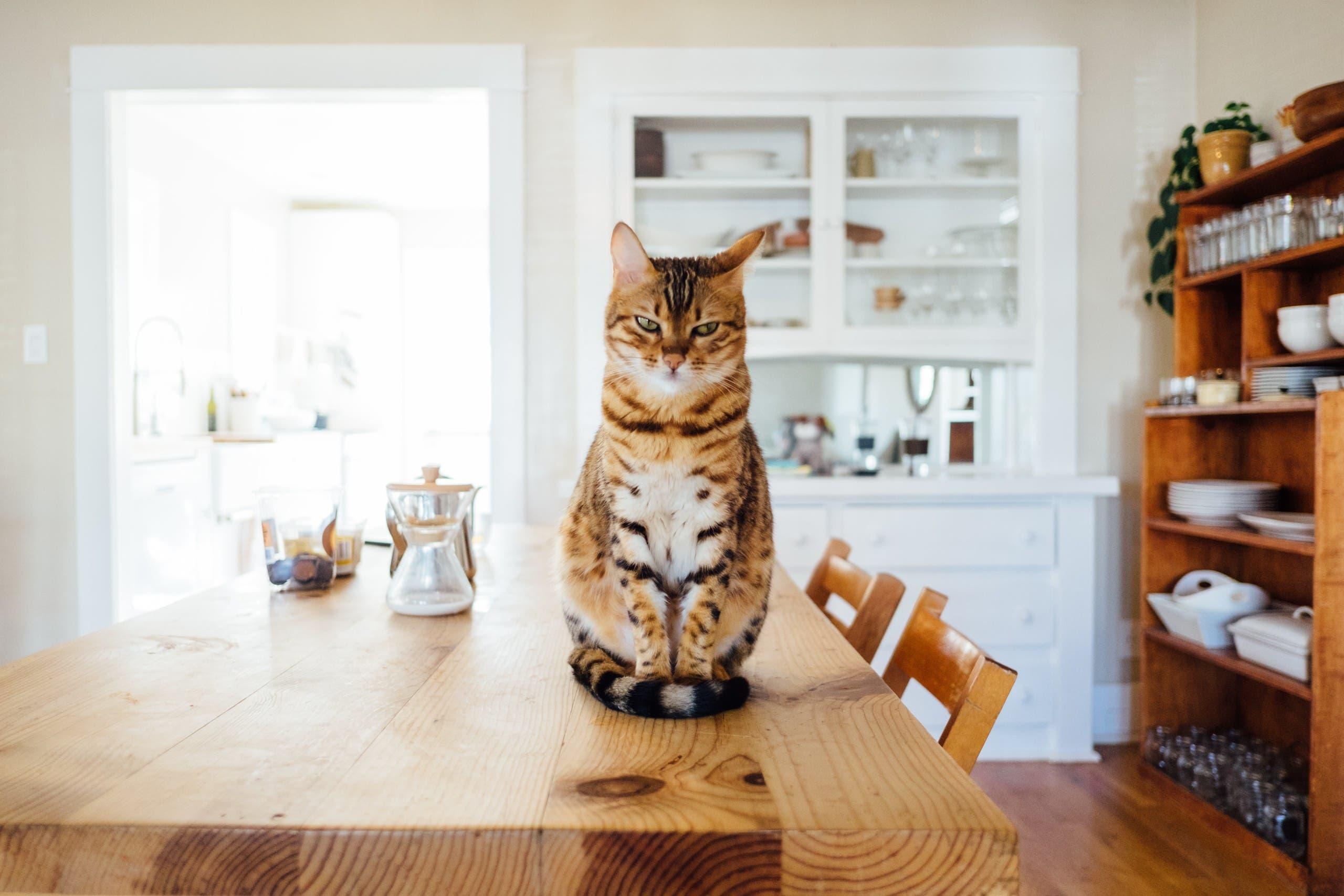 Angry cat. (Unsplash, Paul Hanaoka)