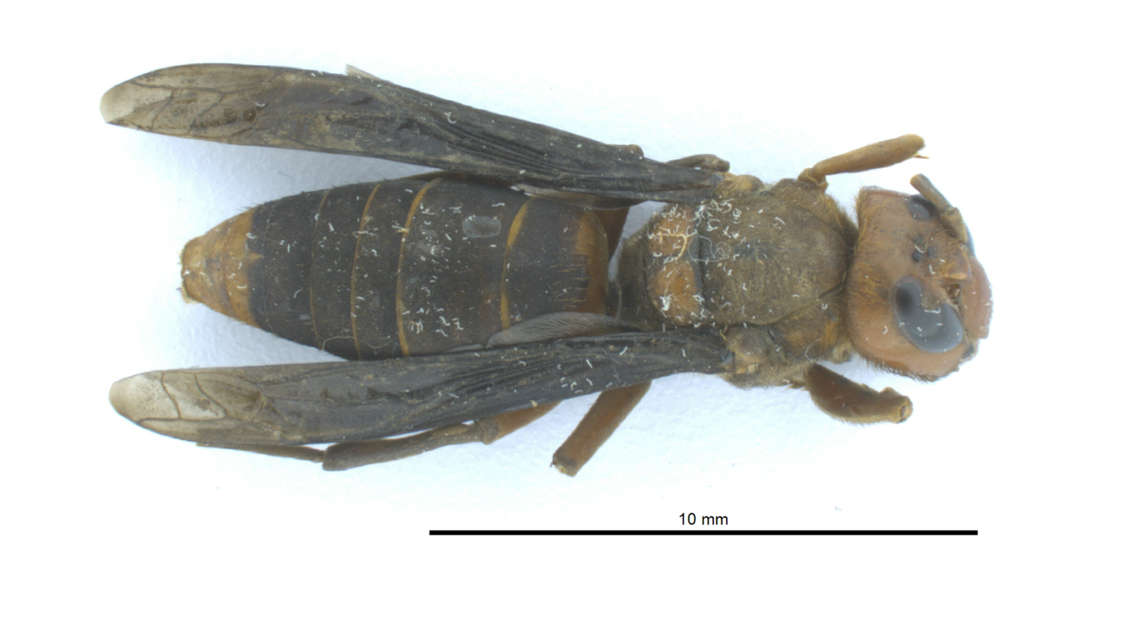 The Asian giant hornet is the world's largest and prey on honey bees and other insects. (Image: WSDA)
