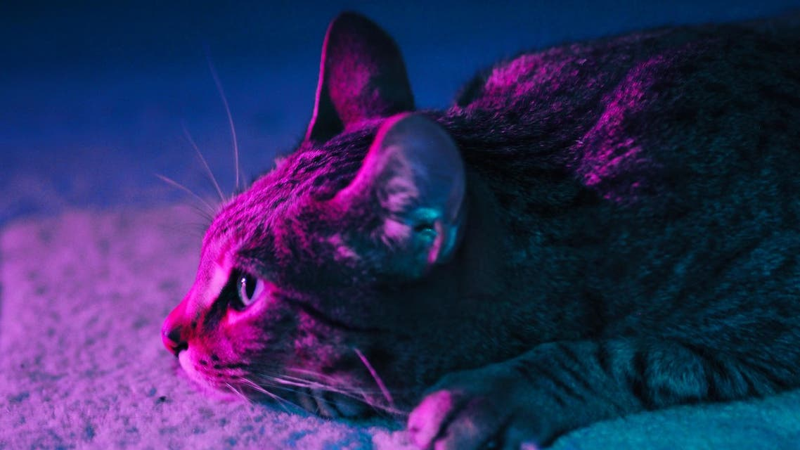 A tabby cat laying on a rug. The room is lit up with neon lighting and the cat is illuminated with purple and turquoise light. (Unsplash, J Cruikshank)