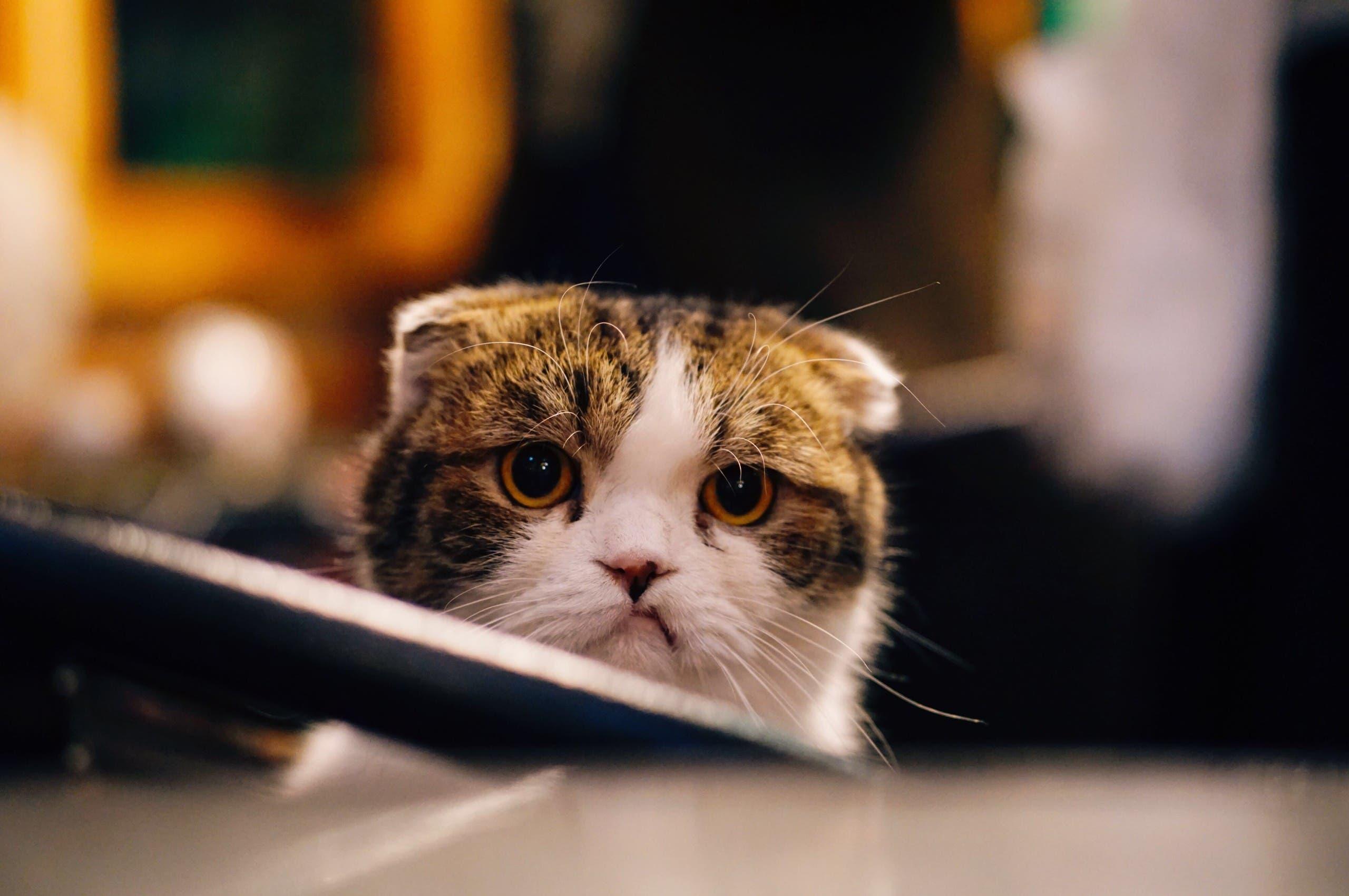 Scottish fold cat. (Unsplash, Fu Yonghua)