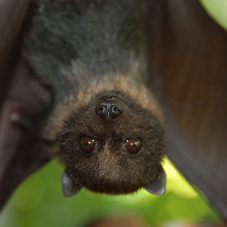 مفاجآت عن الخفافيش.. تناغي وتثرثر كالأطفال الرضع