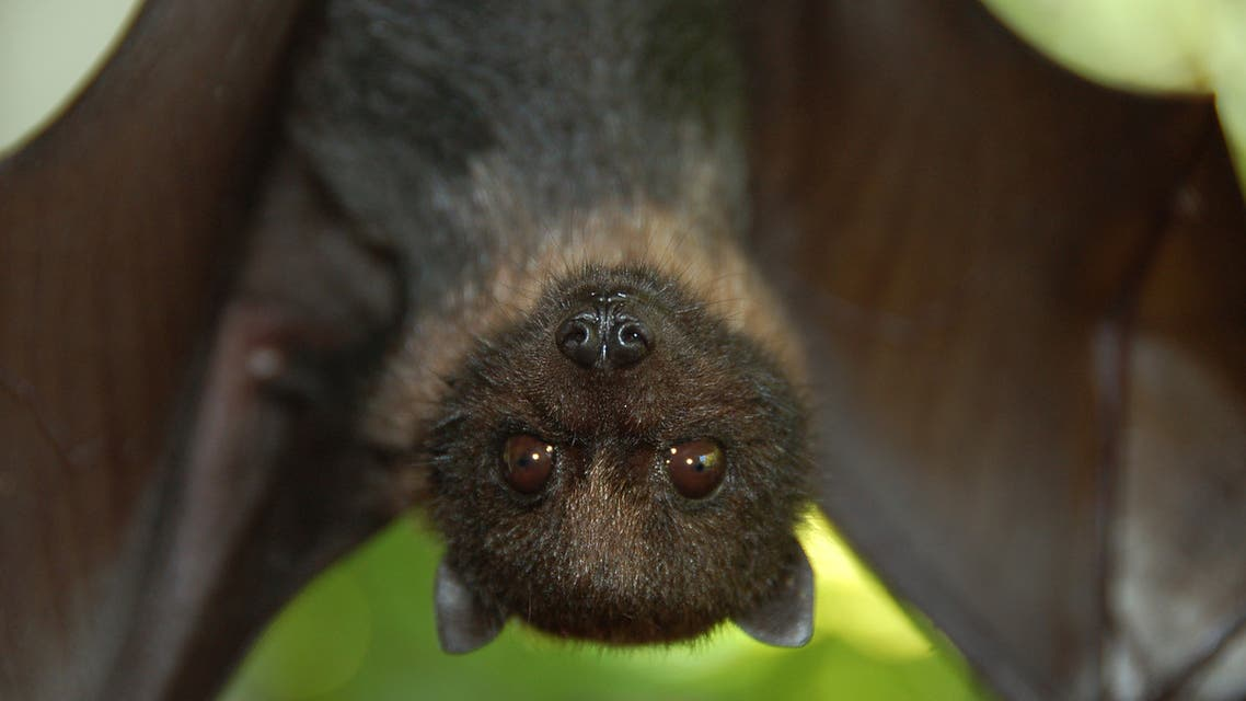 خفاش خفافيش