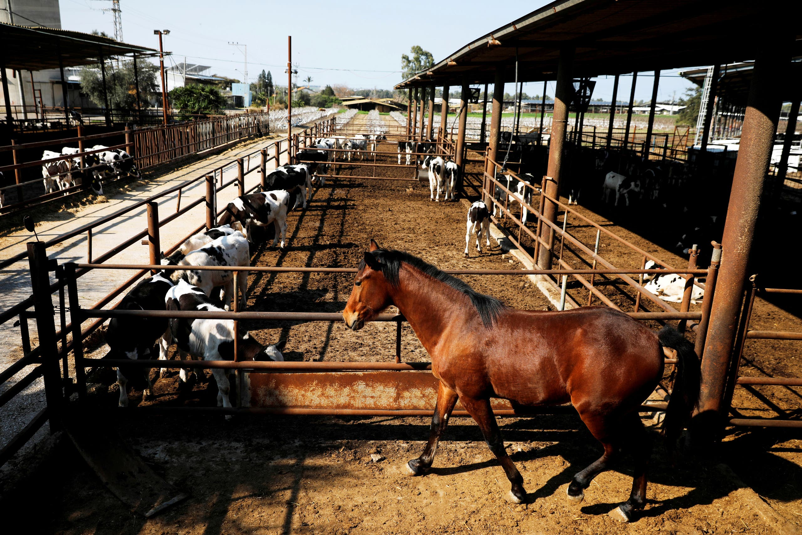 A horse stands next to cow sheds at a farm in Be'er Tuvia, southern Israel February 5, 2020. Picture taken February 5, 2020. (Reuters)