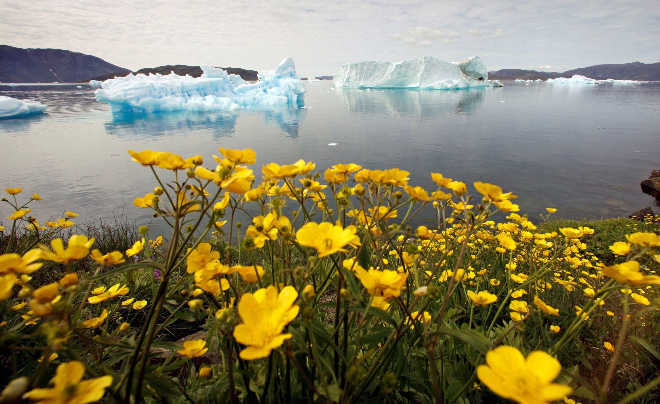 Wildflowers bloom on a hill overlooking a fjord filled with icebergs near the south Greenland town of Narsaq July 27, 2009. (Reuters)