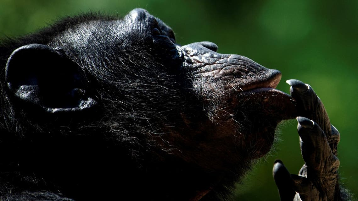 File photo of a chimpanzee looking on in its enclosure at the Bioparco zoo during a heatwave in Rome, on August 13, 2020. (AFP)