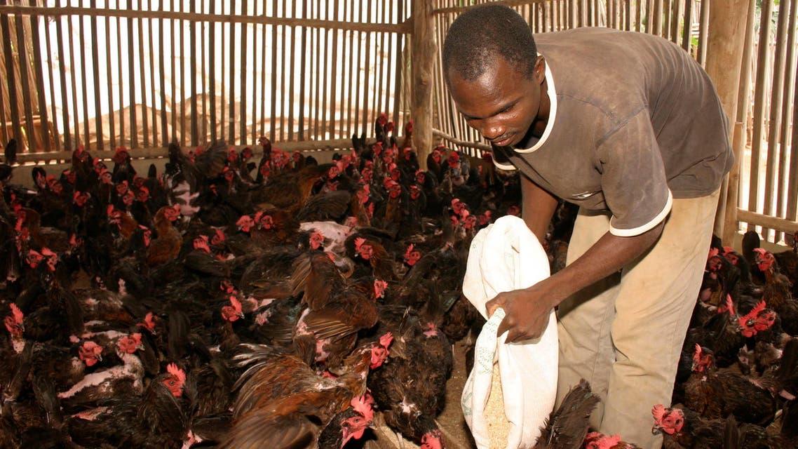File photo of a man feeding poultry in Cotonou, Benin, December 19, 2007. (Reuters)