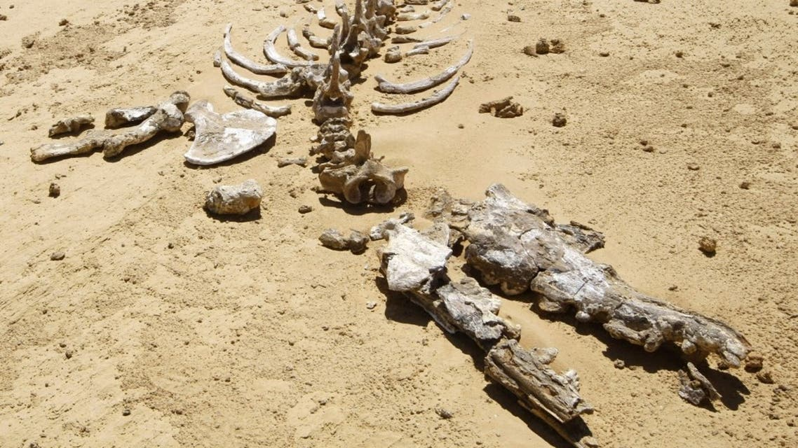 Remains of an early whale from 40-million years ago lies on the desert pavement of Wadi El-Hutan, 100 kilometers south of Cairo. (File photo: AFP)
