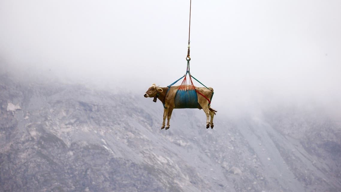 A cow is transported by a helicopter after its summer sojourn in the high Swiss Alpine meadows near the Klausenpass, Switzerland. (Reuters)