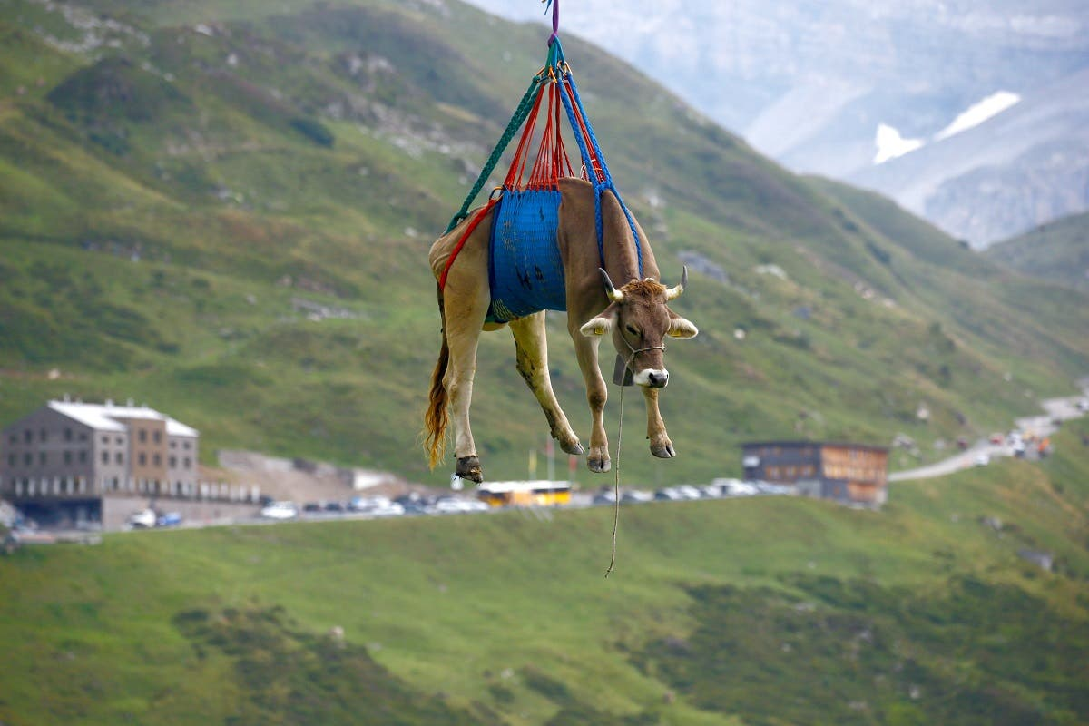 A cow is transported by a helicopter after its summer sojourn in the high Swiss Alpine meadows near the Klausenpass, Switzerland August 27, 2021.  (Reuters)