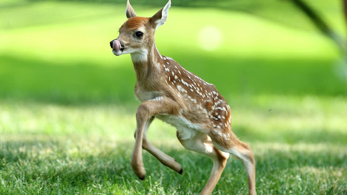 DUBLIN, OH - MAY 31: A baby deer runs on the par 5 15th hole during the second round of the Memorial Tournament presented by Nationwide Insurance at Muirfield Village Golf Club on May 31, 2013 in Dublin, Ohio. Andy Lyons/Getty Images/AFP