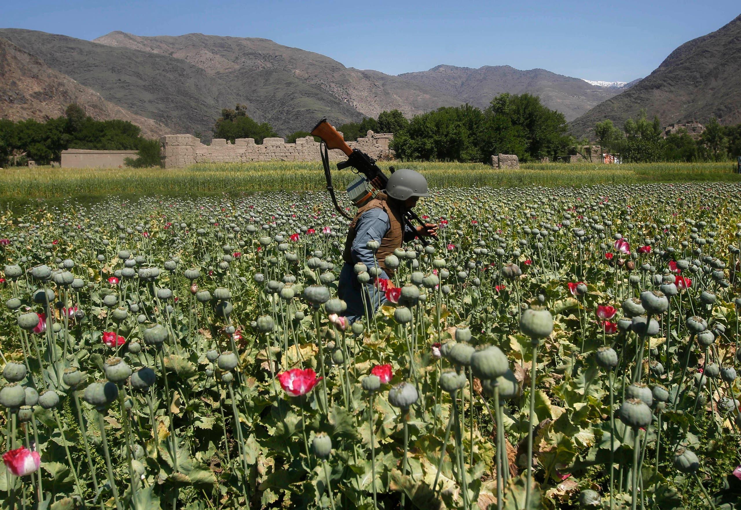 رجل أمن أفغاني أثناء تدمير حقول الأفيون (رويترز)
