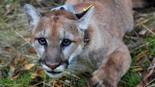 Mother punches mountain lion to save her five-year-old son