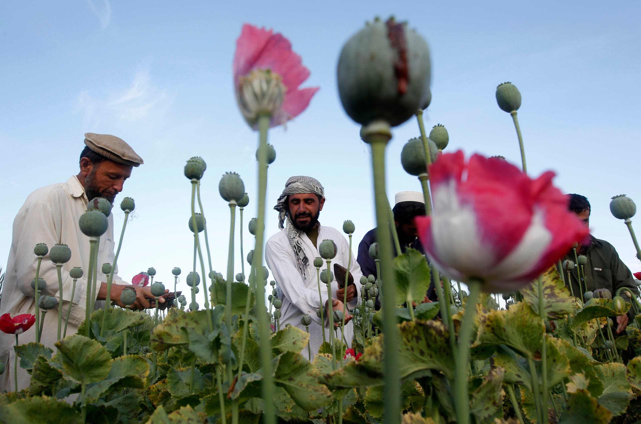 مزارعو الأفيون في أفغانستان (رويترز)