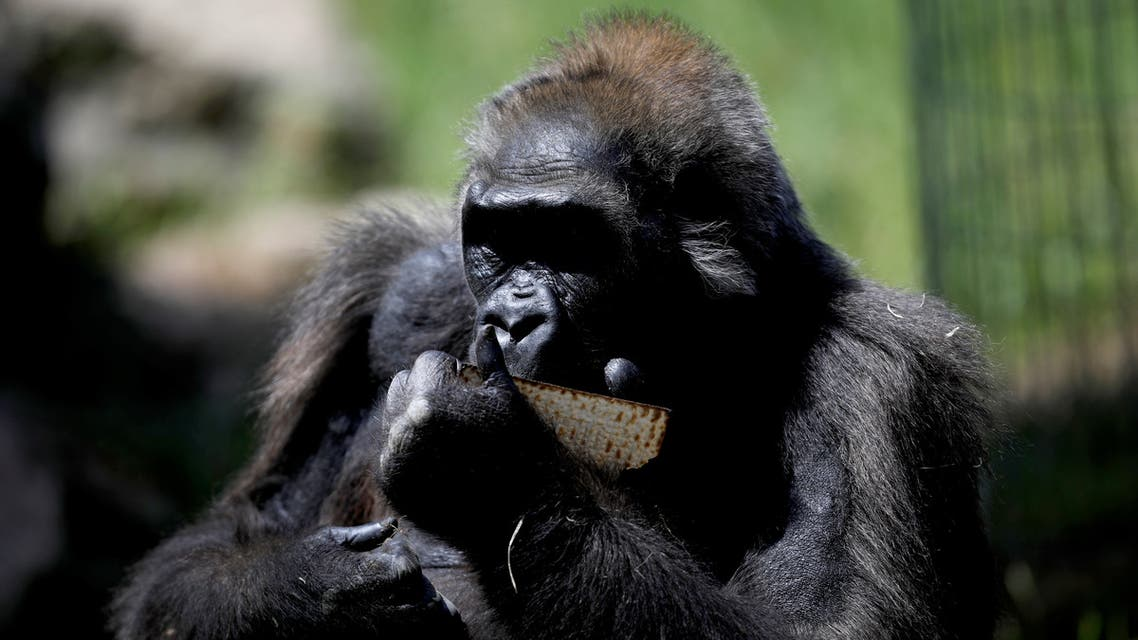 A chimpanzee eats matza, a traditional unleavened bread eaten during the upcoming Jewish holiday of Passover, in the Ramat Gan Safari Zoo, near Tel Aviv, Israel March 27, 2018. (Reuters)
