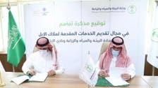 """السعودية.. """"الإبل"""" و""""البيئة"""" يحفزّان على الاستثمار وحفظ السلالات"""