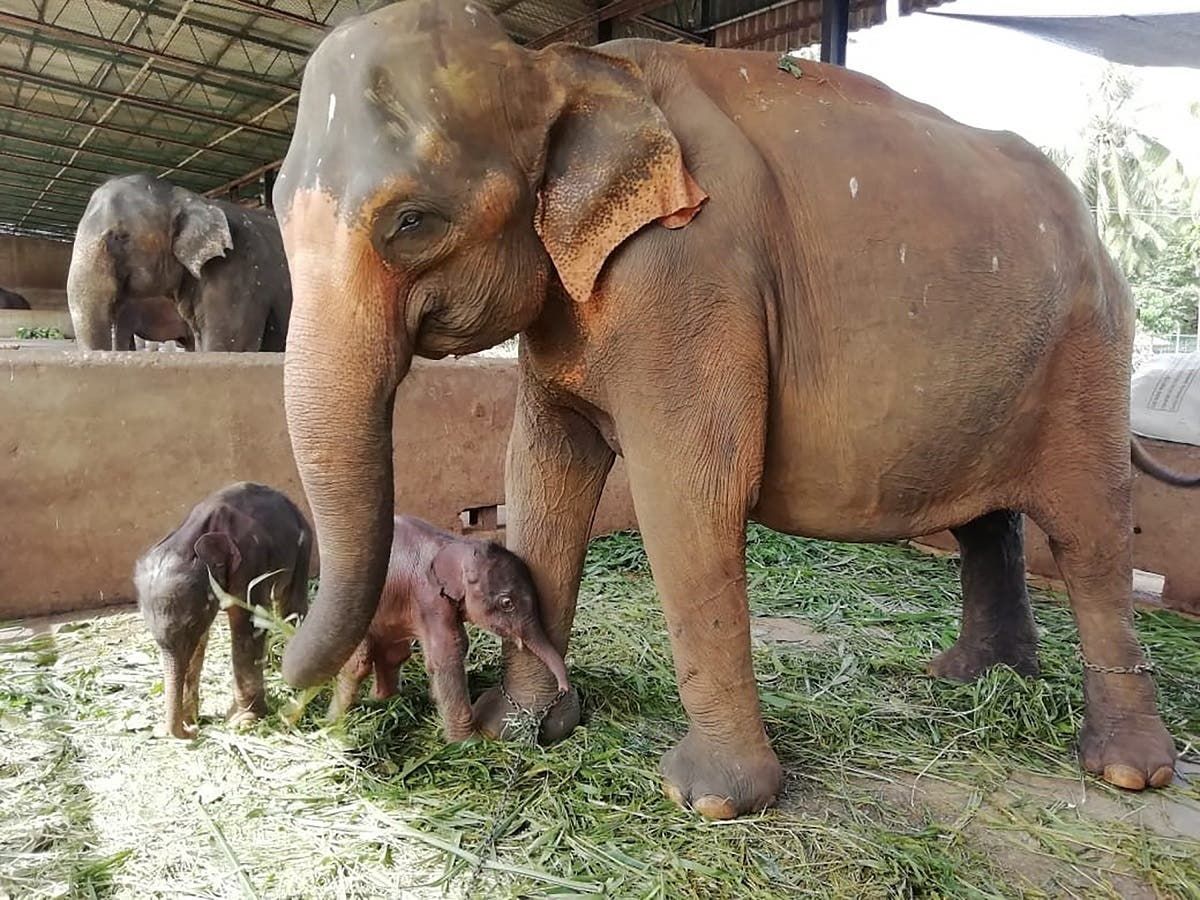 This handout photo from Sri Lanka's Pinnawala Elephant Orphanage taken on August 31, 2021 shows 25-year-old elephant Surangi with her twin calves born on August 31, 2021 nearly five hours apart, making the first such birth at the facility set up in 1975 to care for destitute elephants, in Pinnawala. (AFP)