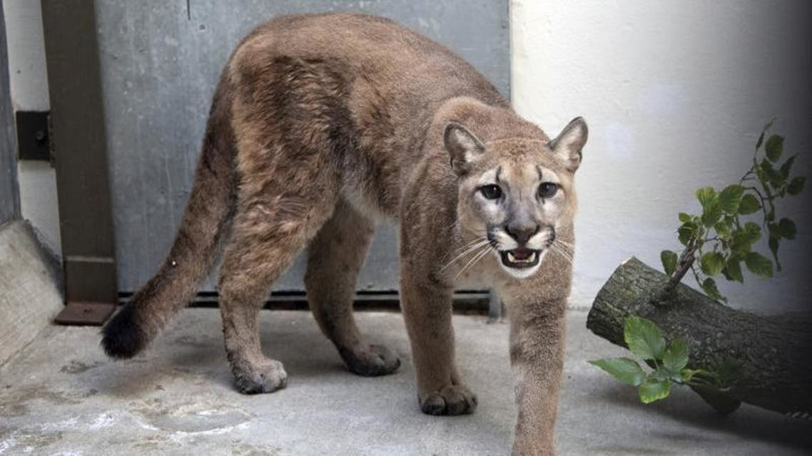 This photo provided by New York's Bronx Zoo shows an 11-month-old, 80-pound cougar that was removed from an apartment, in the Bronx borough of New York, where she was being kept illegally as a pet. (AP)