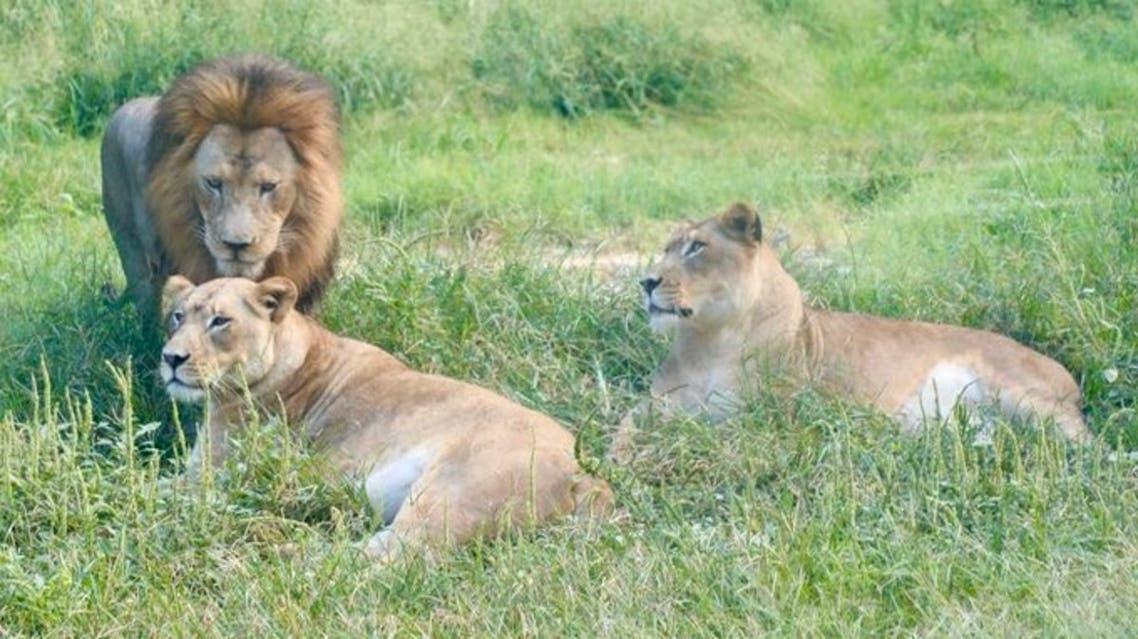 San Antonio Zoo's lions and tigers. (San Antonio Zoo)