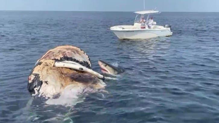 کوسههای سفید «نهنگ گوژپشت» را دریدند