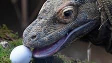Komodo dragon, two-in-five shark species lurch toward extinction