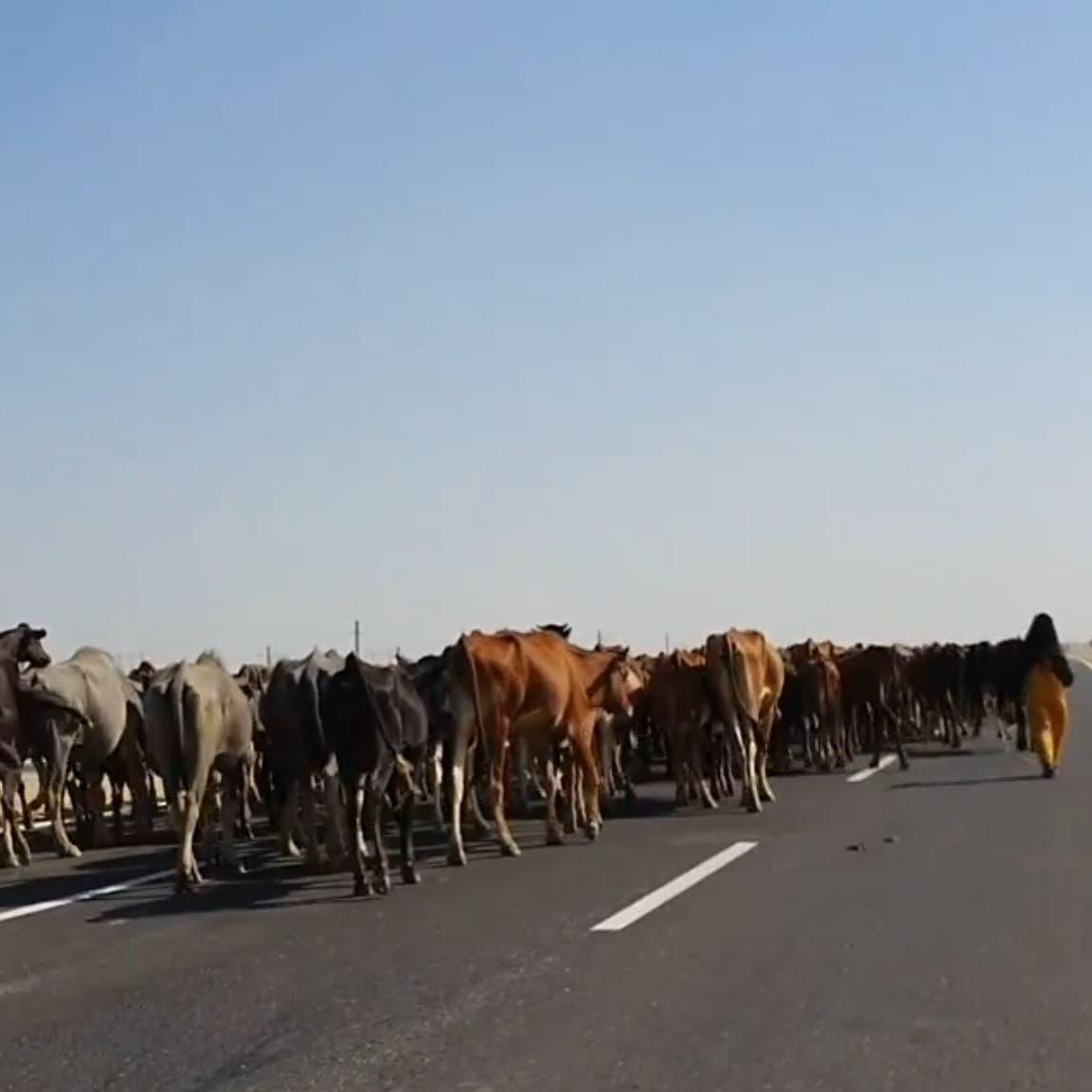فيديو صادم.. سيدات يرعينقطيع أبقار على طريق في مصر!