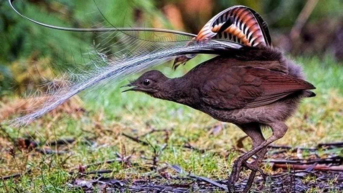Native Australian bird, Lyrebird, is pictured. (Screengrab via ScienceAlert)