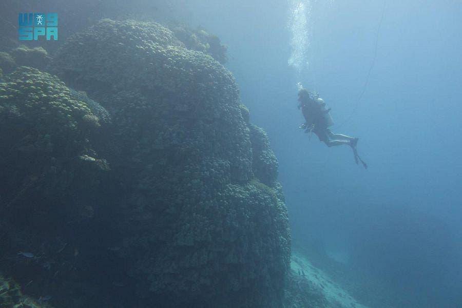 The Red Sea Development Company (RSDC) discovers a 10-meter high, 600-year-old huge coral colony south of Al-Waqadi Island, Saudi Arabia. (Courtesy SPA)