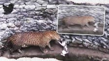 Leopard and cat face-off after both fall into a well in India