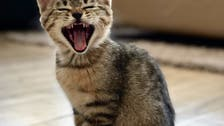 Meow: Why can't house cats roar?
