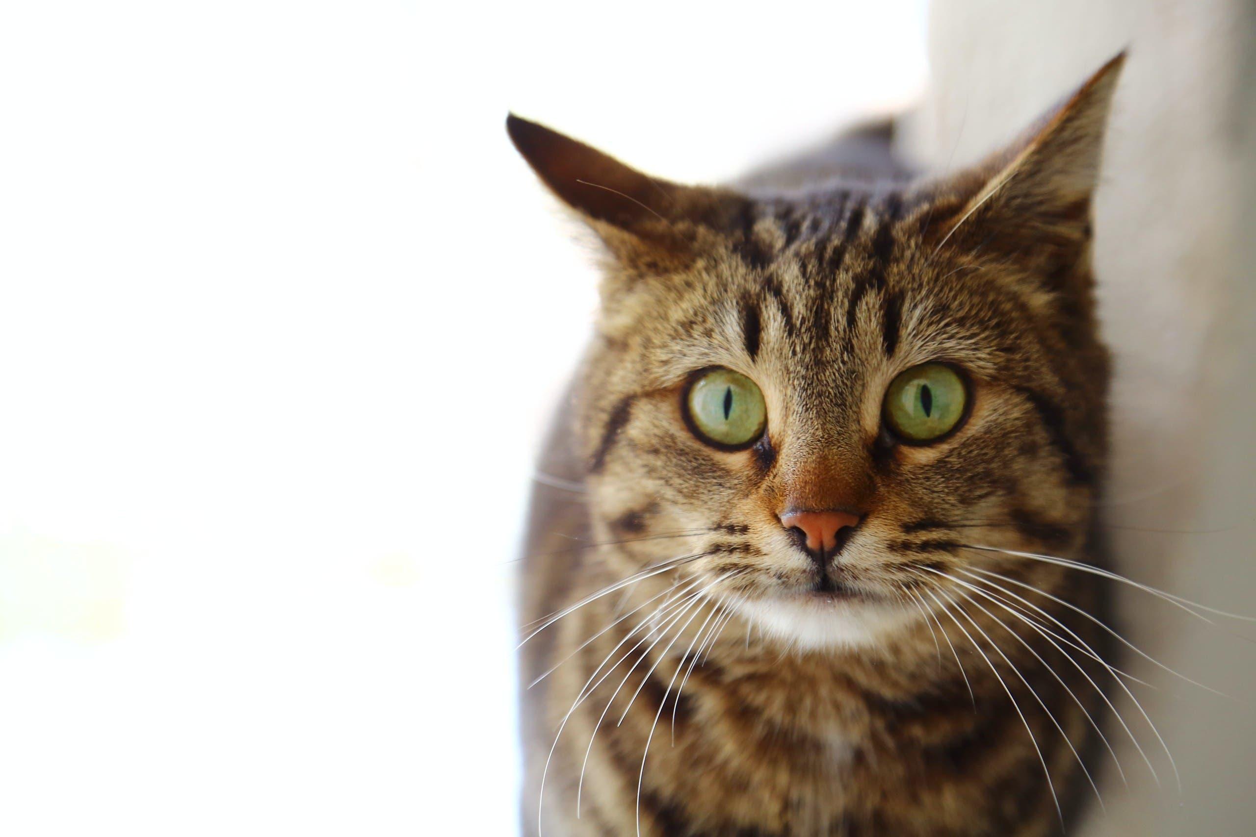 Tabby cat. (Unsplash, Engin Akyurt)