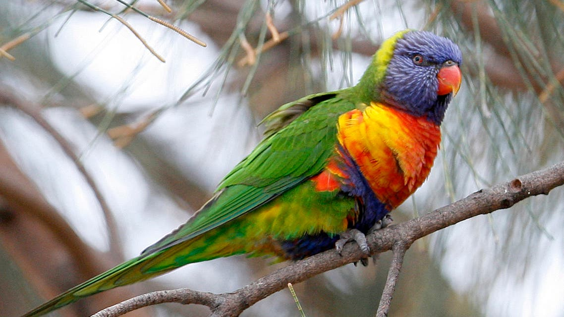 A Rainbow Lorikeet parrot perches on a tree in central Sydney. (File photo: Reuters)