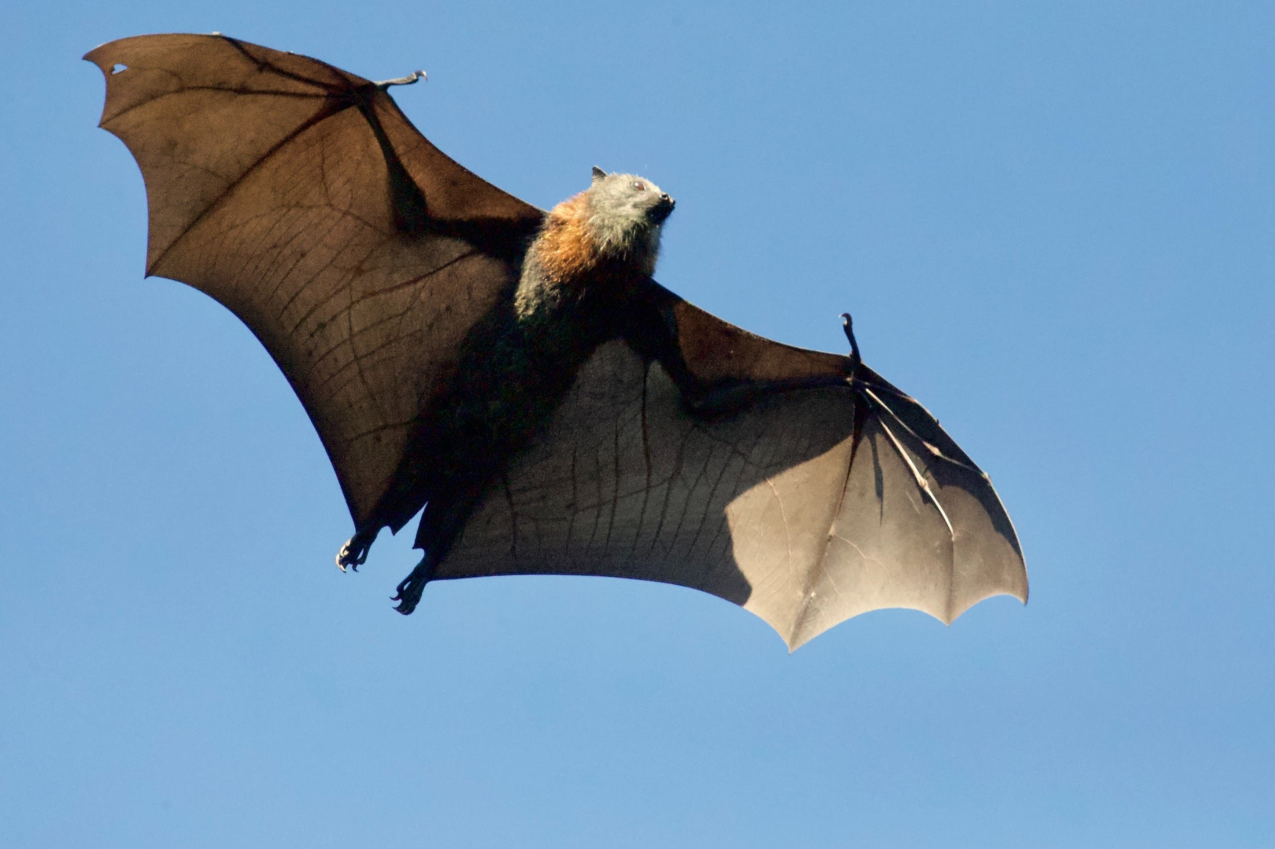 Bats are also experince 'shape shifting' due to climate change (Unsplash)