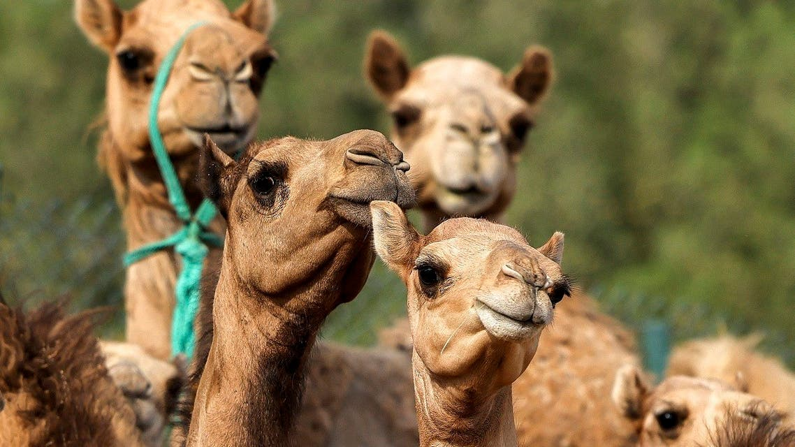 This picture taken on June 4, 2021 shows a view of cloned camel calves in a pen at the Reproductive Biotechnology Center in Dubai. (AFP)