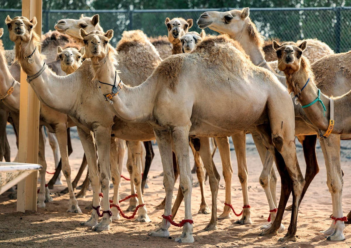 Cloning is in high demand in the competitive world of camel beauty pageants, leaving scientists at a Dubai clinic working round the clock to produce carbon-copy beasts. (AFP)