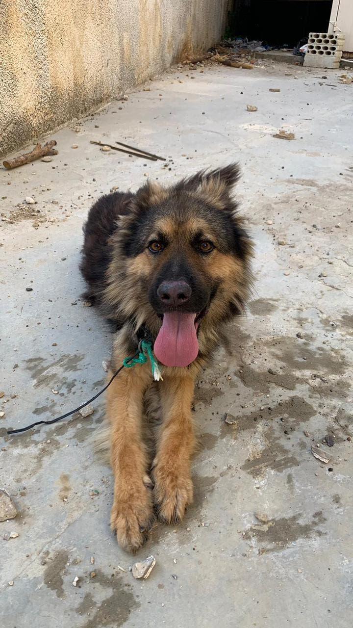 Dog found on the streets of Bhamdoun, Lebanon on July 5th, 2021. (BETA)