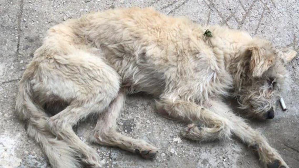Decimated dog in Lebanon. (Image: Vanessa Ghanem)