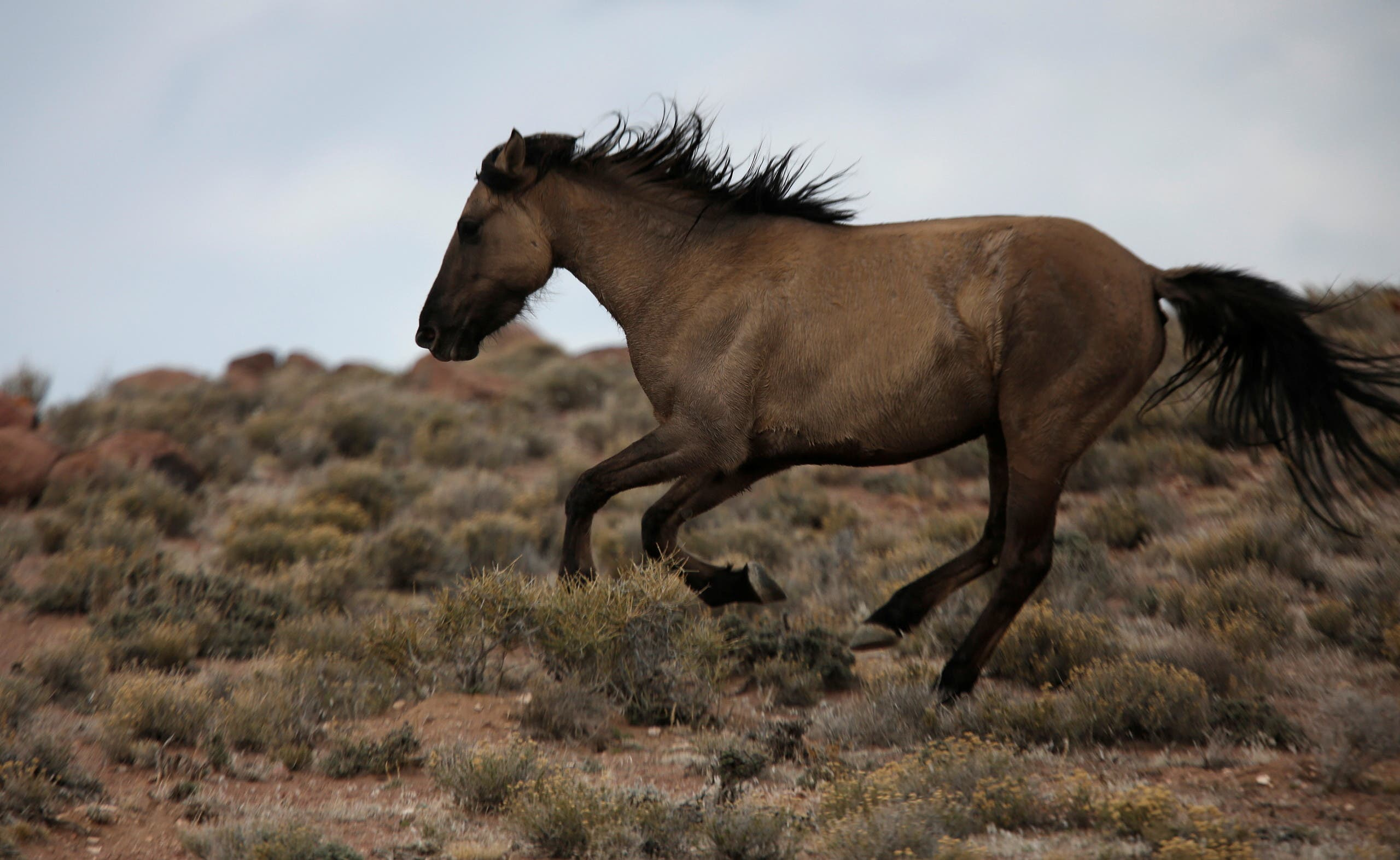 A wild horse escapes from a Bureau of Land Management (BLM) gather trap along Highway 21 near the Sulphur Herd Management Area south of Garrison, Utah, February 26, 2015. (File Photo: Reuters)