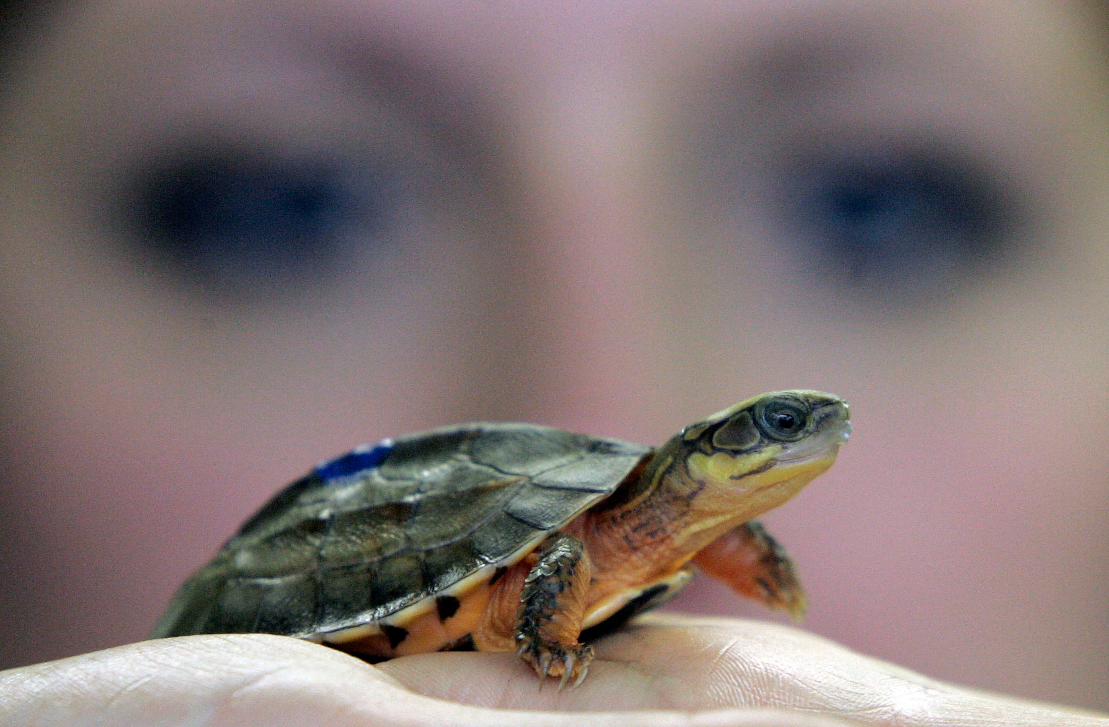 A member of staff examines a newborn Golden Coin Box turtle, at the Chester Zoo in Chester, northern England, March 26, 2007. (Reuters)