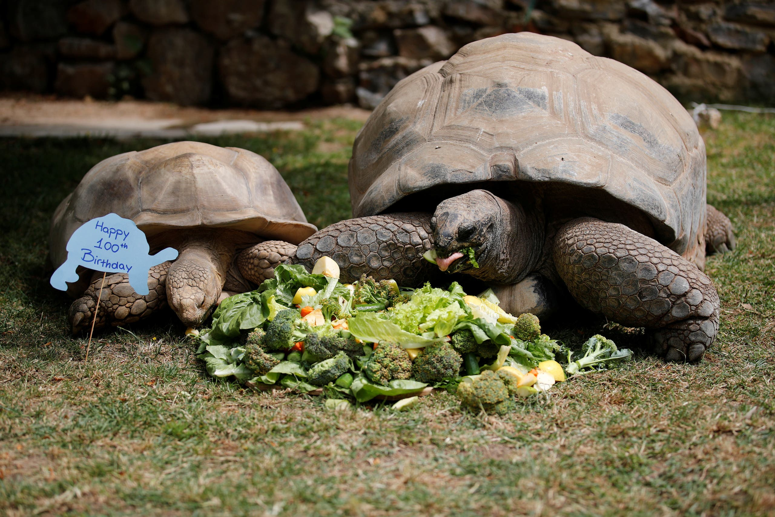 Tuki, an Aldabra Giant tortoise, and an African spurred tortoise eat a cake made of vegetables to celebrate Tuki's 100th birthday at Faruk Yalcin Zoo, amid the spread of the coronavirus disease (COVID-19) in Darica, 60 kilometers east of Istanbul, Turkey, April 30, 2020. (Reuters)