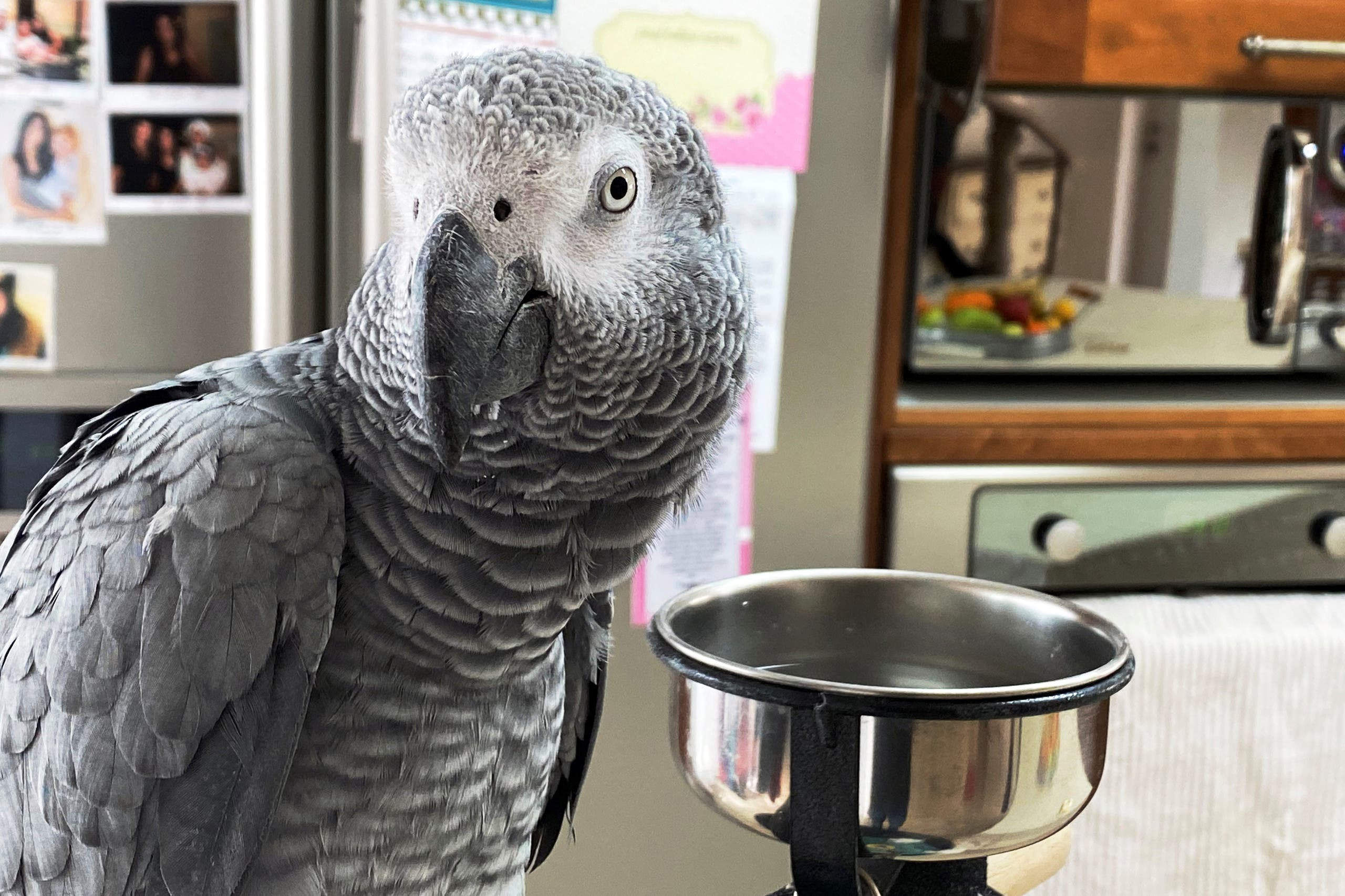 Luca, a parrot that has learnt to mimic and say the words, there is corona and don't go out amid the Coronavirus disease (COVID-19) crisis, looks on as its owner, Zehava Shabat is interviewed by Reuters in Kiryat Shmona, northern Israel March 24, 2020. (Reuters)