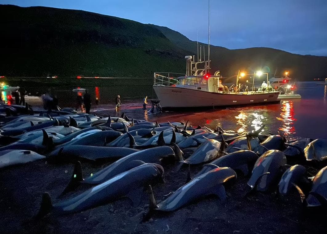 Hunters in the Faroe Islands slaughter 1,428 dolphins in one of the largest ever recorded massacres, turning the sea red with blood as the beaches were lined with their corpses. (Photo Courtesy: Sea Shepherd)